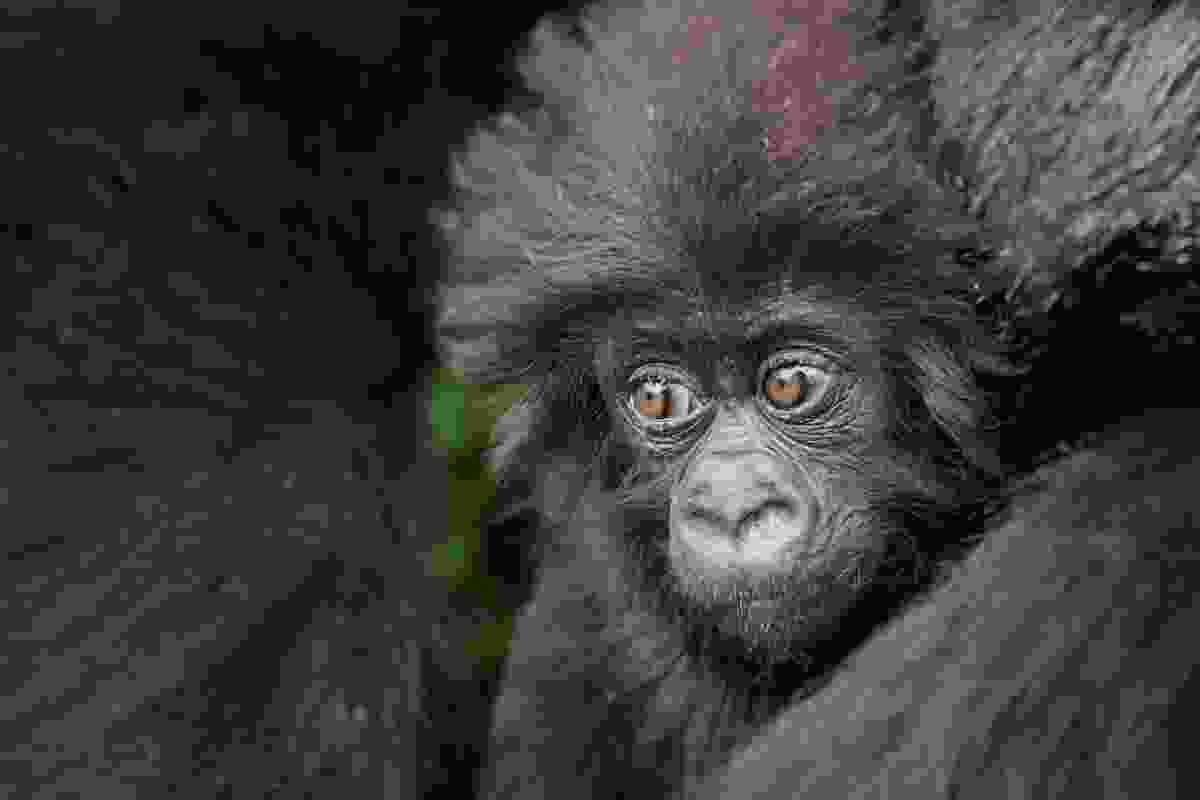 Mountain gorilla, Rwanda (Billy Dodson)