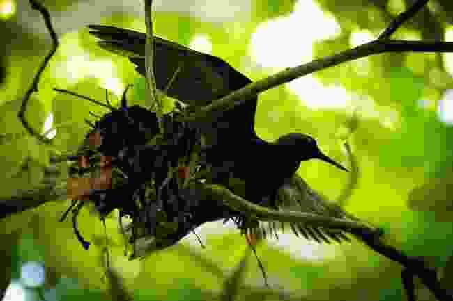 Black Noddy Bird (Phoebe Smith)