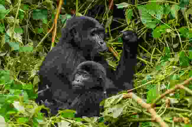 Mountain gorillas in Bwindi Impenetrable Forest, Uganda (Shutterstock)