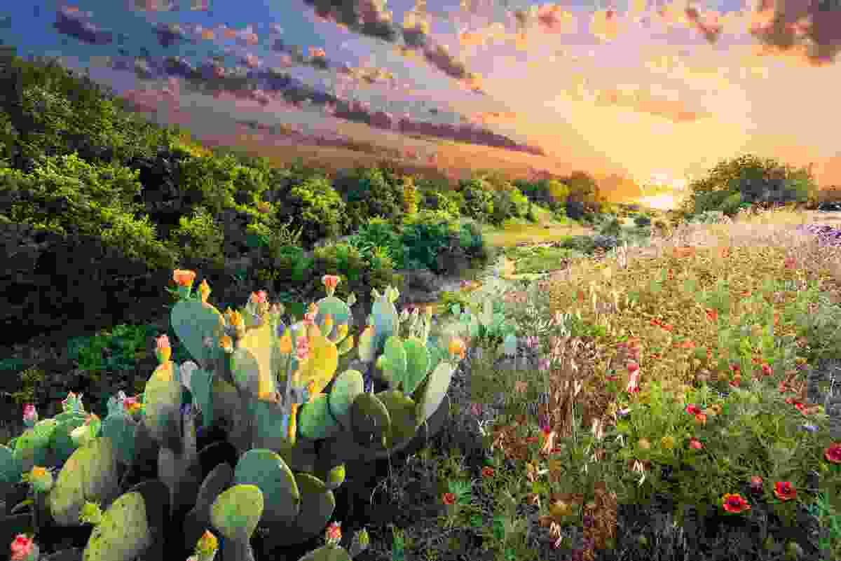 Cactus Flowers and Indian Blanket Wildflowers, Texas (Shutterstock)