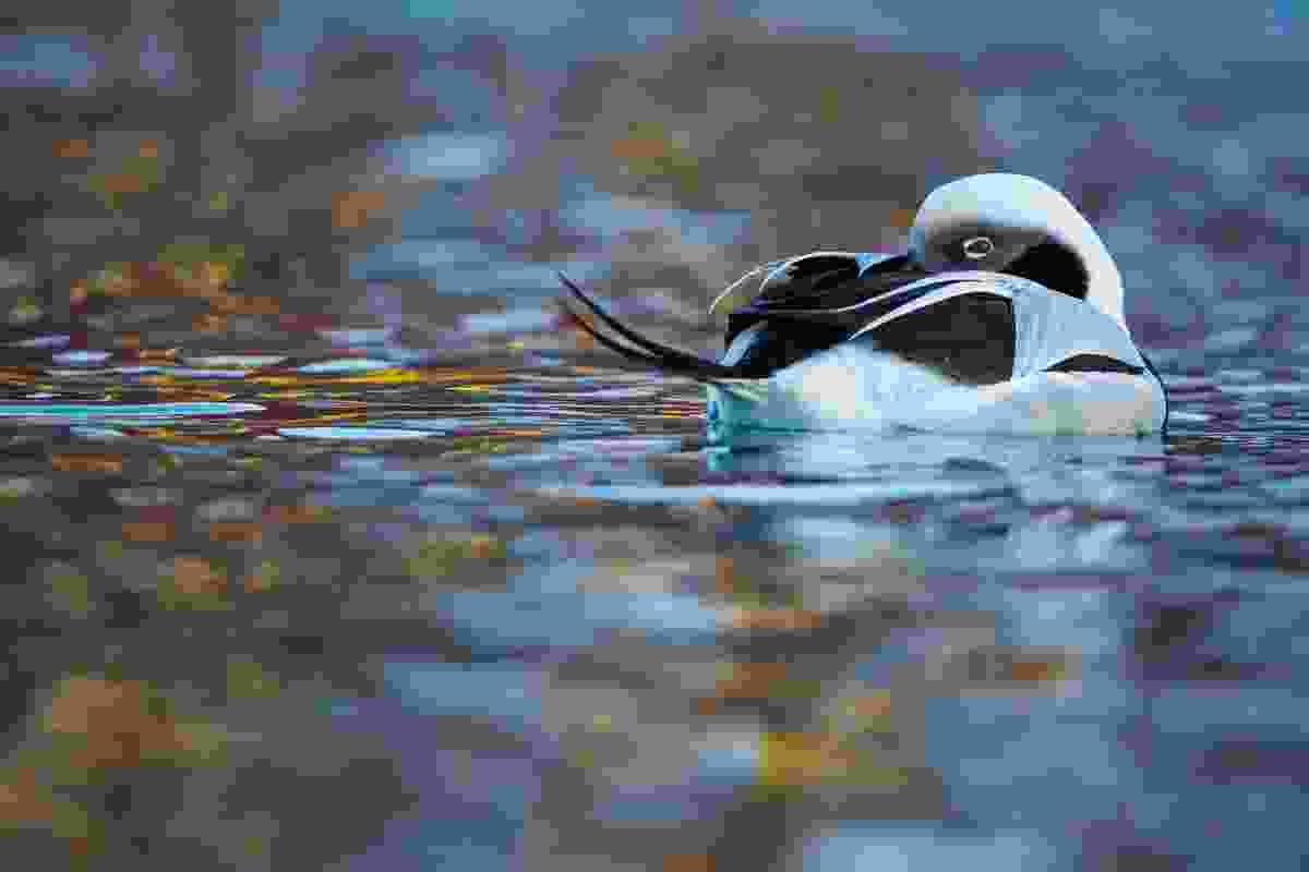 11-14 years old winner: 'Duck of dreams' (Carlos Perez Naval, Spain)