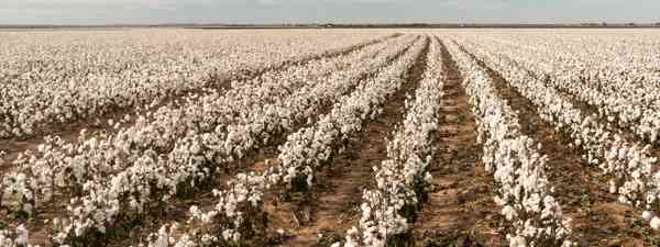 A cotton plantation (Shutterstock)