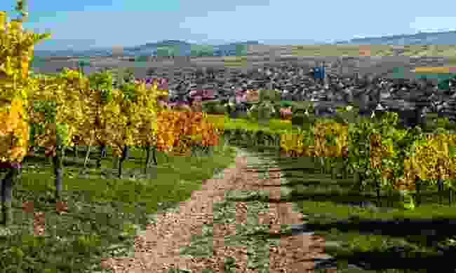 Path through the vineyards near Westhalten in Alsace (Dreamstime)