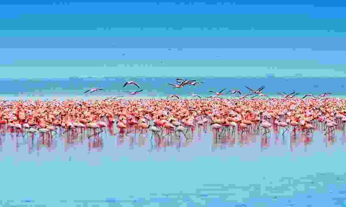 Flamingos in the Lake Nakuru, Kenya (Dreamstime)