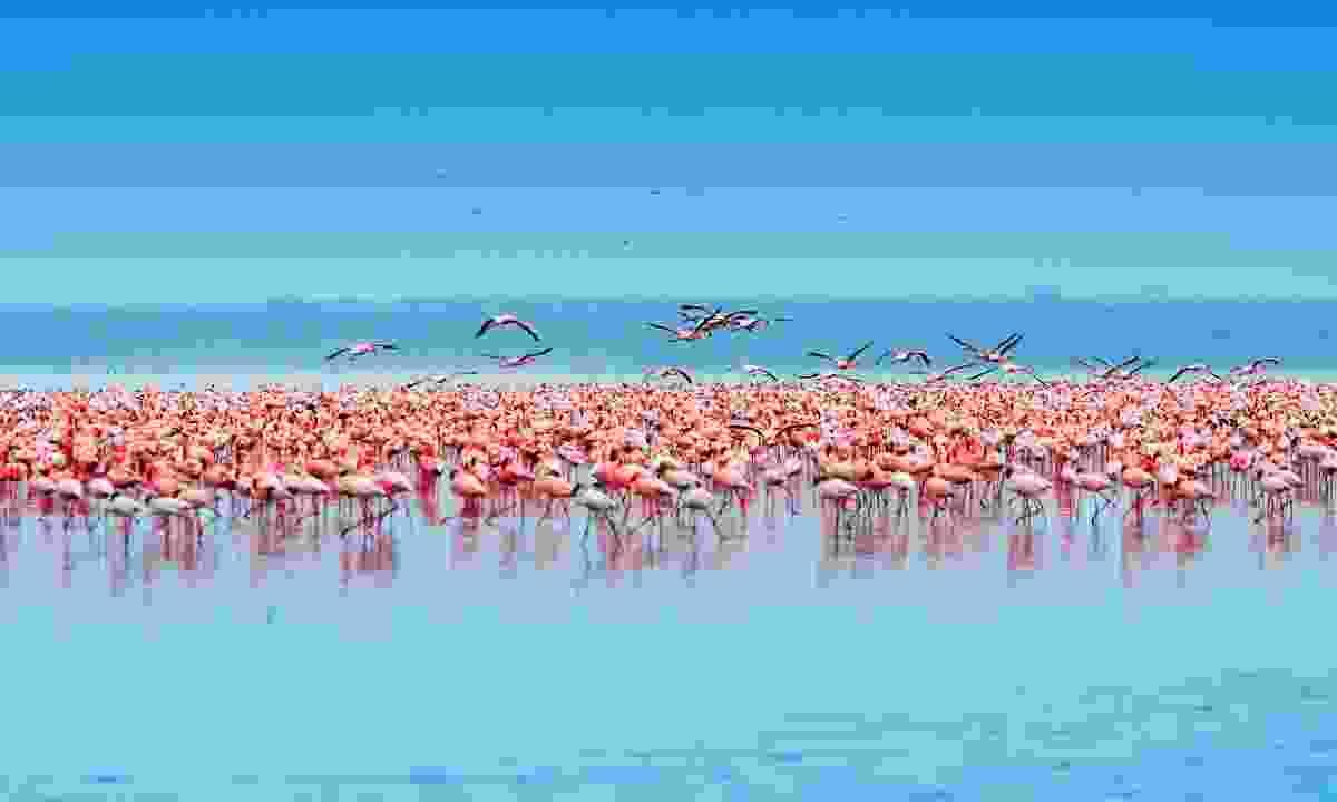 Flamingos in the Lake Nakuru, Kenya (Dreamstime)