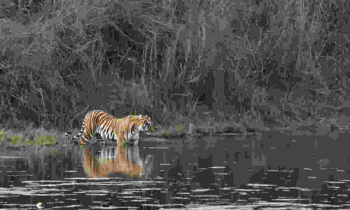 Bengal tiger crossing a river in Nepal (Dreamstime)