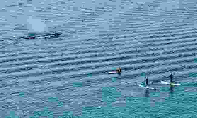 Paddleboarders with a grey whale off Stanley Park, Vancouver (Deamstime)