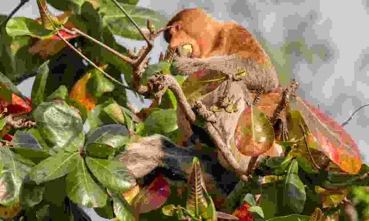 Proboscis monkey feasting in Bako (Dreamstime)