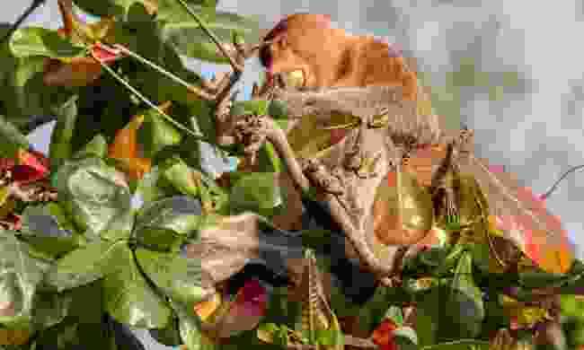 Proboscis monkey feasting in Bako (Dreamstime)