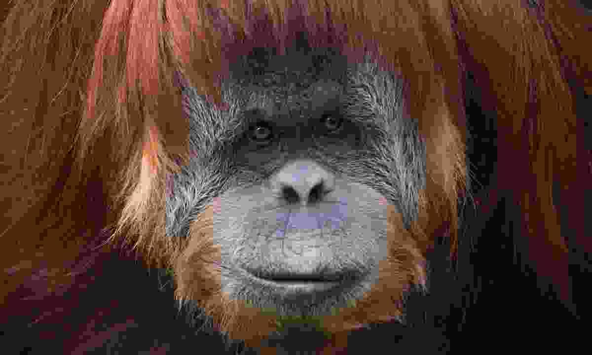 A Sumatran orangutan (Dreamstime)