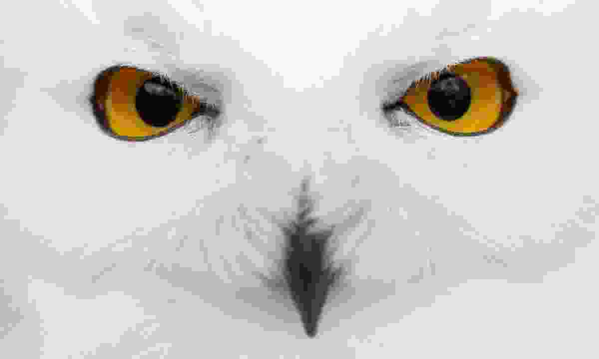 A snowy owl (Dreamstime)