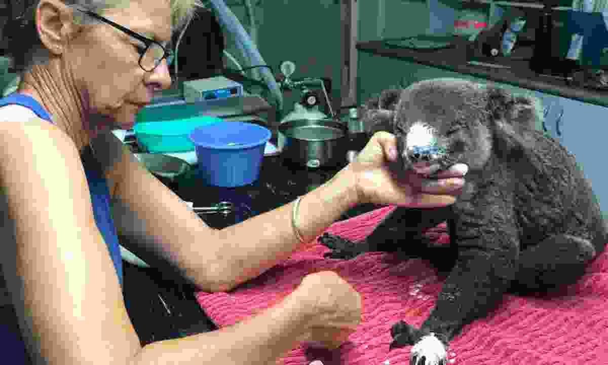 A koala being treated for burns (Port Macquarie Koala Hospital)