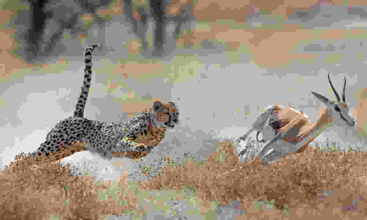 Cheetah hunting a springbuck in Namibia (Shutterstock)