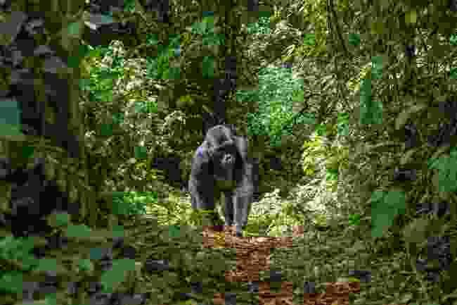 A mountain gorilla walking through the Bwindi Impenetrable Forest, Uganda (Shutterstock)
