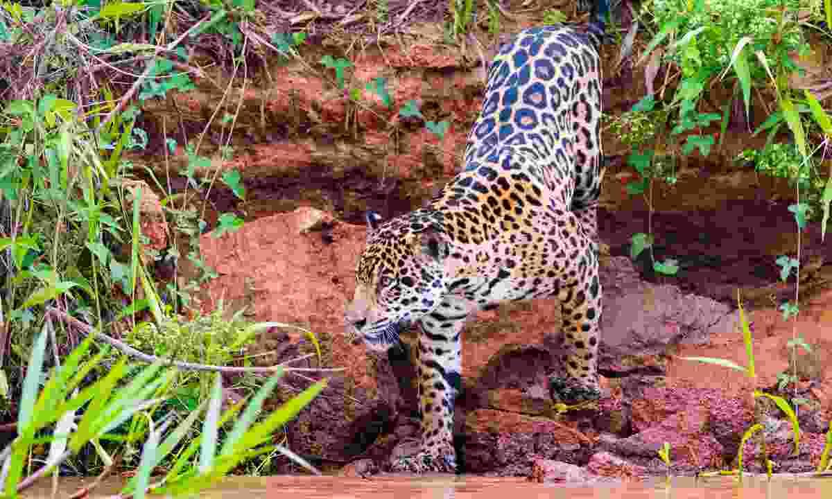 Jaguar in Brazil's Pantanal (Shutterstock)