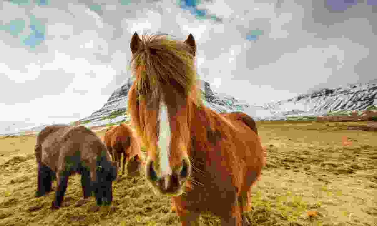 Icelandic ponies in the mountains (Shutterstock)