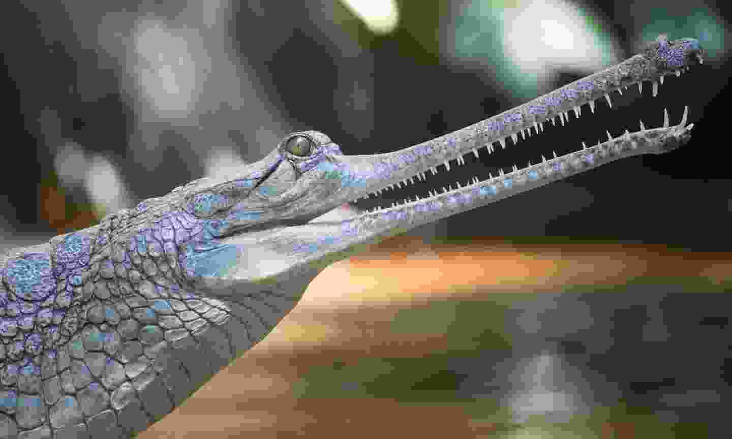 A young gharial in Nepal (Shutterstock)