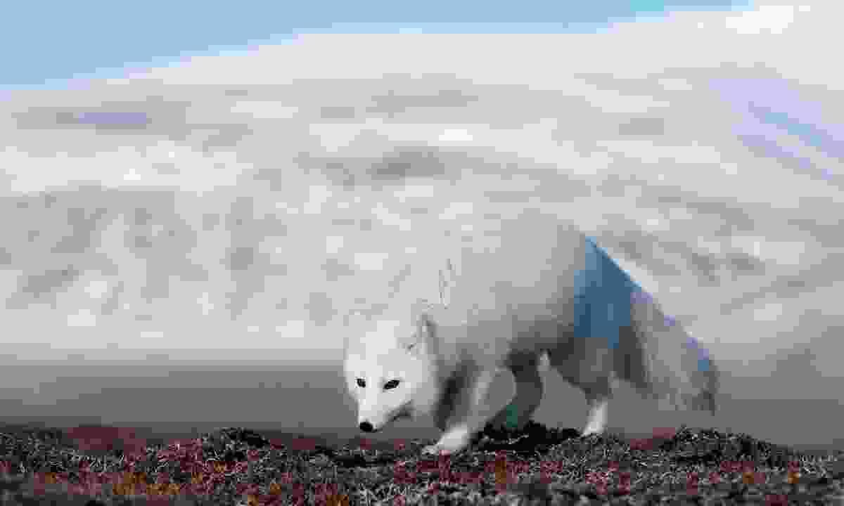An Arctic fox on the prowl on Wrangel Island (Sergey Gorshkov)