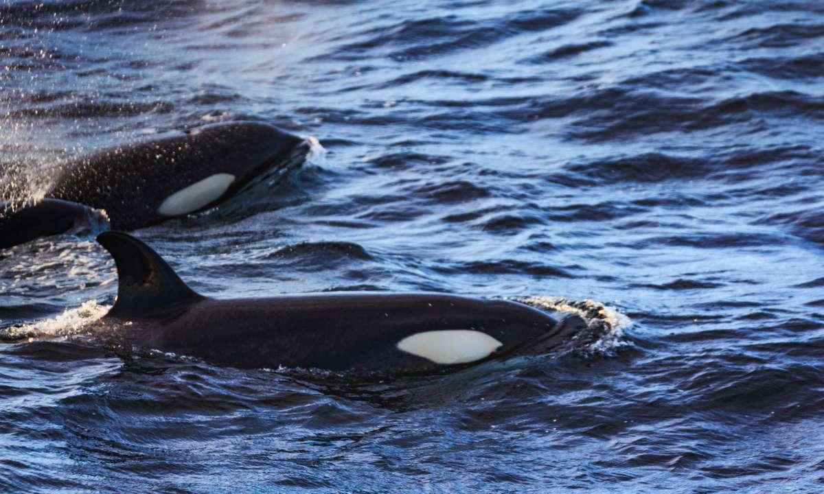 Orcas make a regular appearance near Tromsø and the Lofoten Islands (Dreamstime)