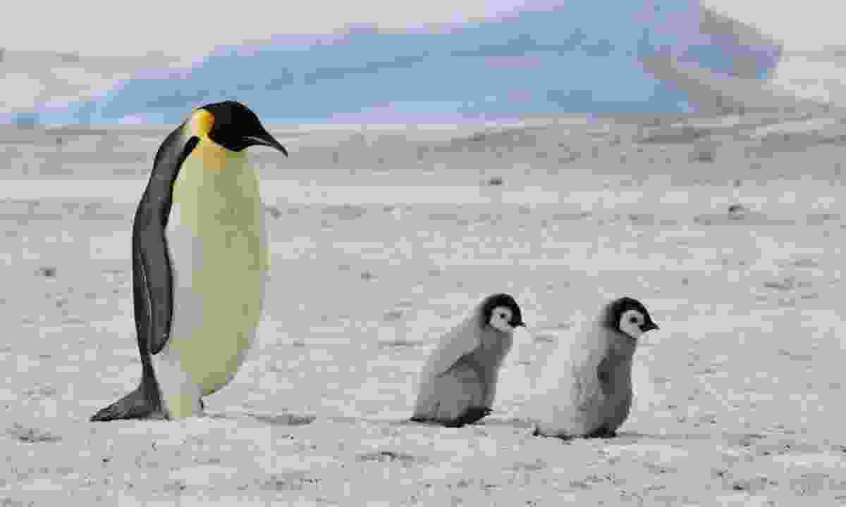 Emperor penguin and chicks (Dreamstime)