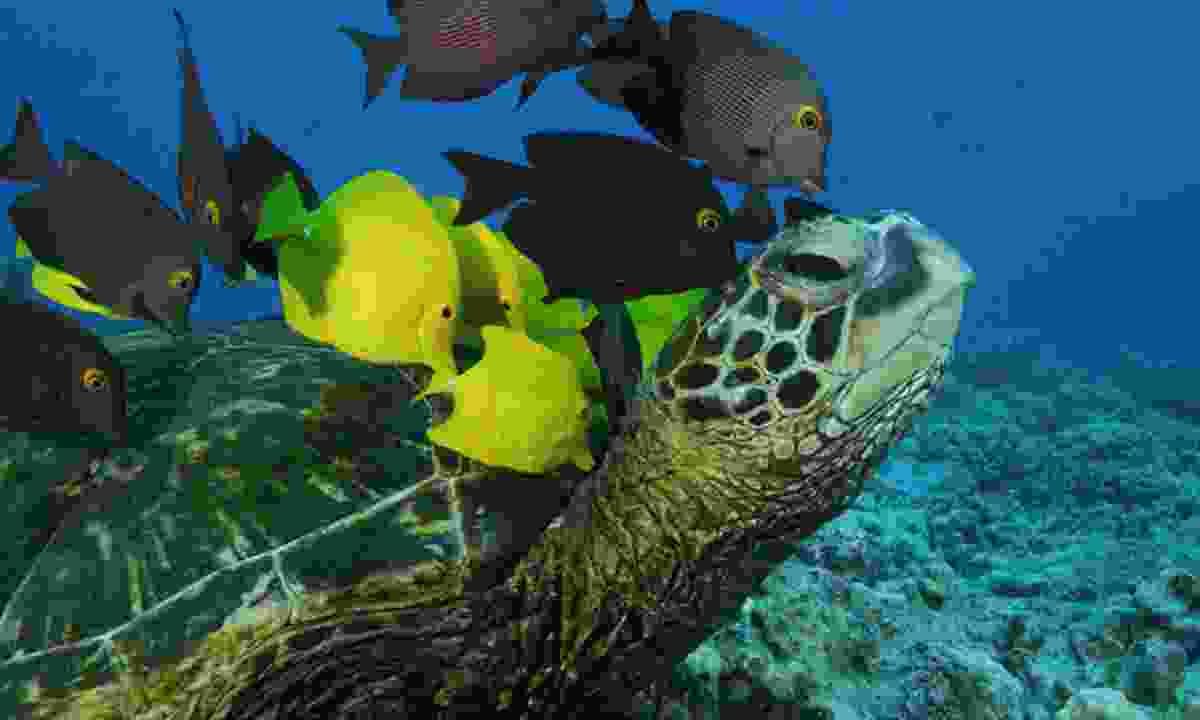 Fish cruise along with a turtle (Mai Khao Turtle Foundation)