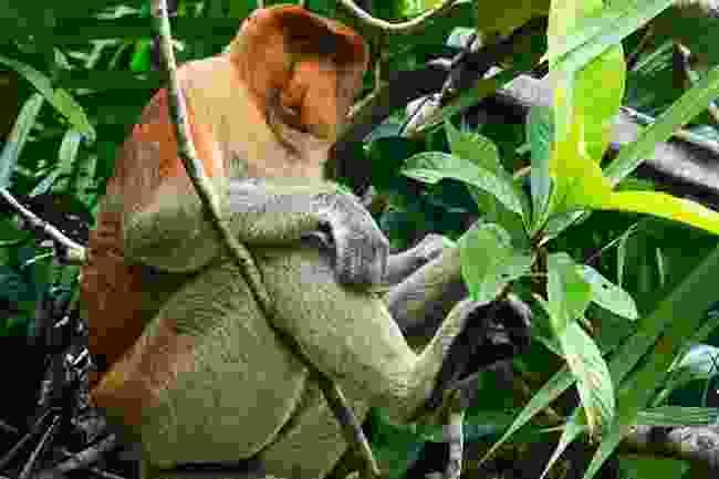 A proboscis monkey in Malaysia (Gaya Island Resort)