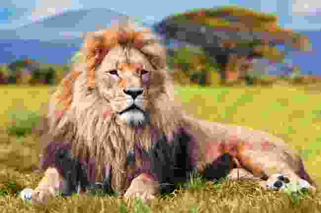 A lion... in the savannah where it's meant to be (Shutterstock)