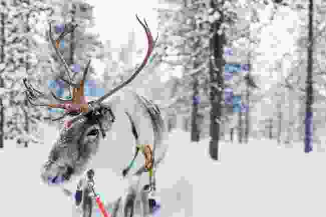 Reindeer (Shutterstock)