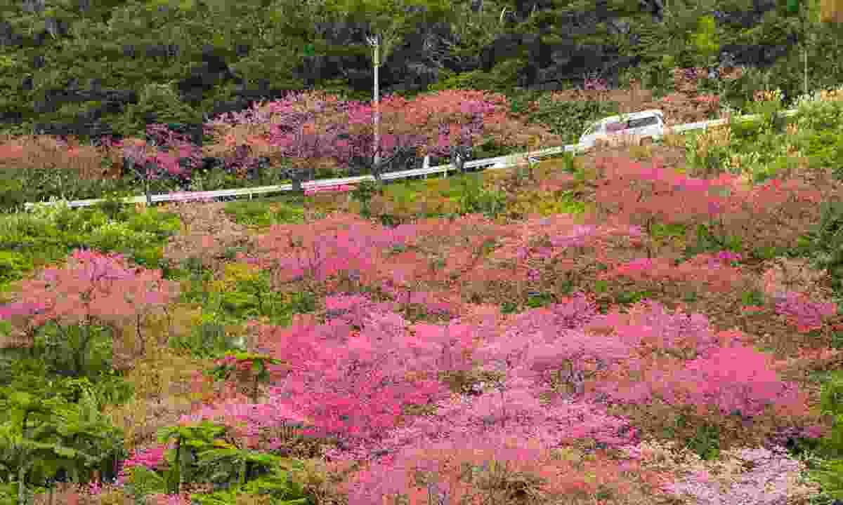 Cherry Blossom in Okinawa (Shutterstock)