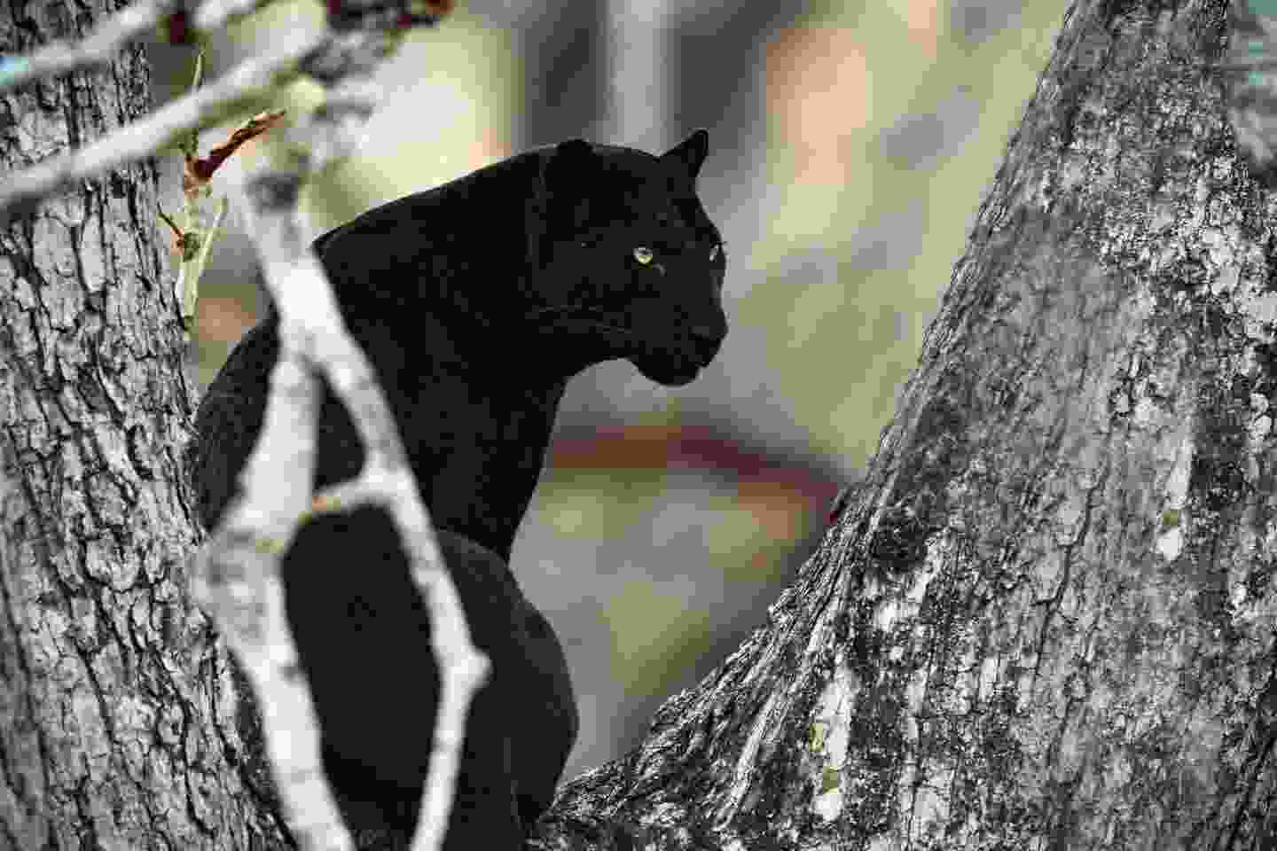 Black panther in the woods, South India (Shutterstock)
