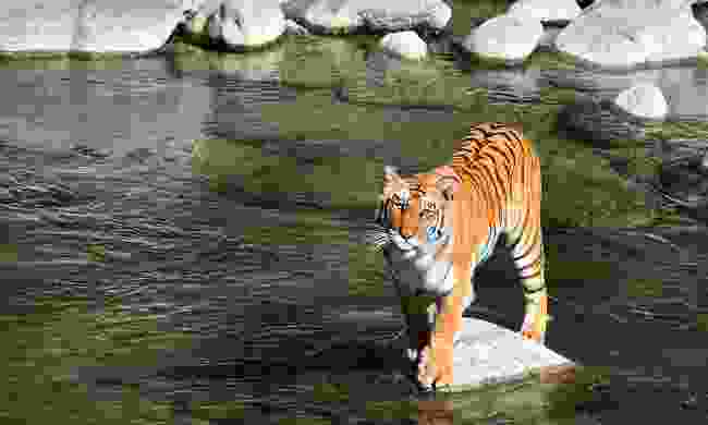 A male tiger in Jim Corbett National Park (Shutterstock)