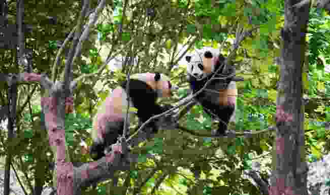 A pair of pandas mated in a zoo in Hong Kong after 13 years together (Shutterstock)