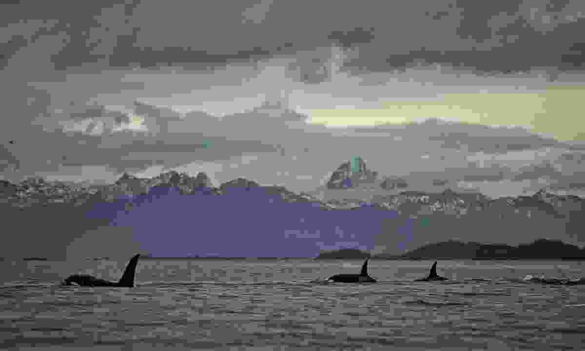A pod of Norway's orcas in Tysfjord (Shutterstock)