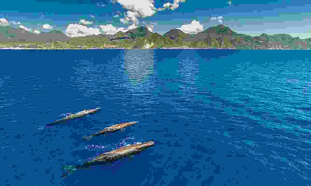 Enjoy whale watching off the coast of Dominica
