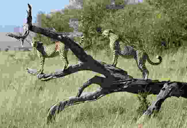 Cheetahs in the Maasai Mara (Dreamstime)