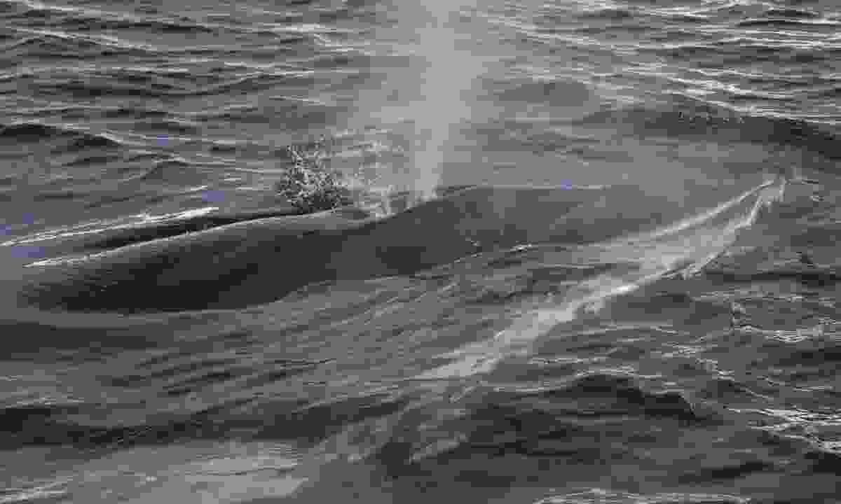 Minke whale (Shutterstock.com)
