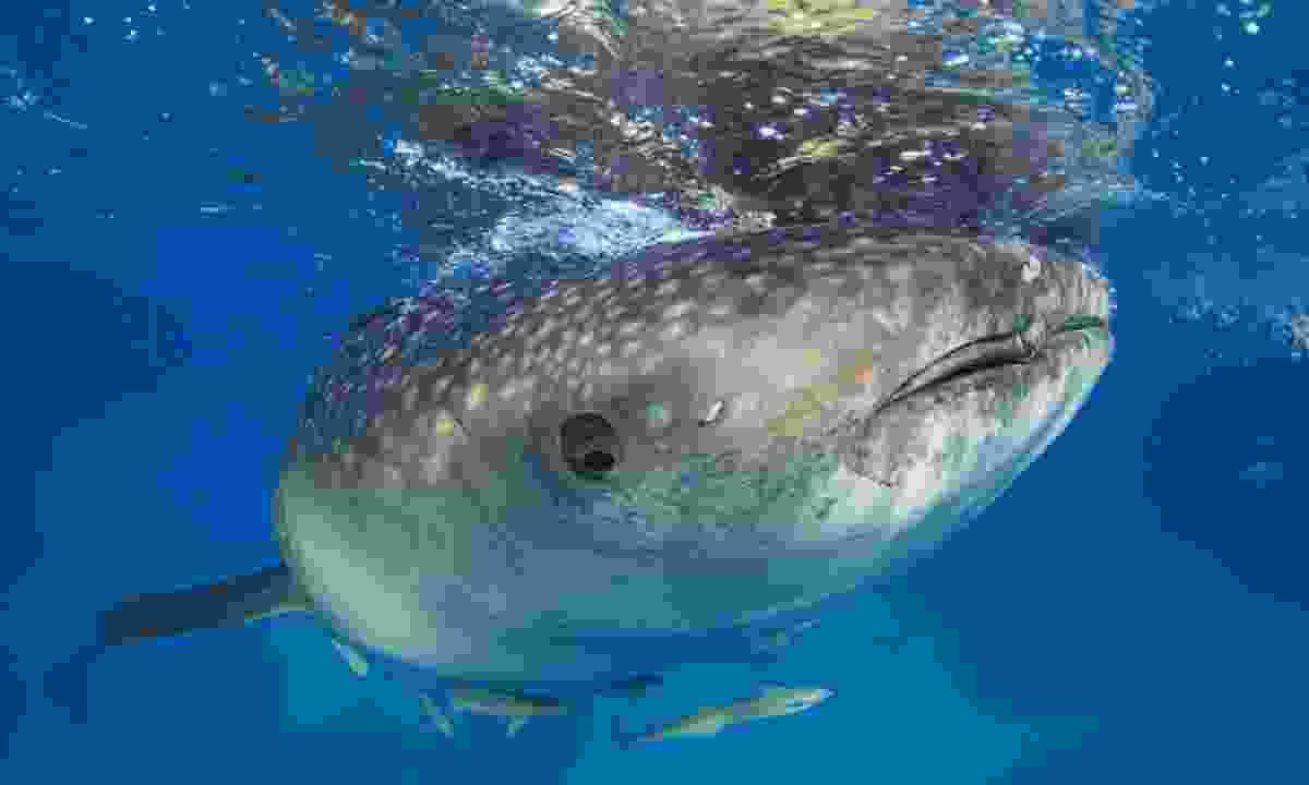 Whale shark (Shutterstock)