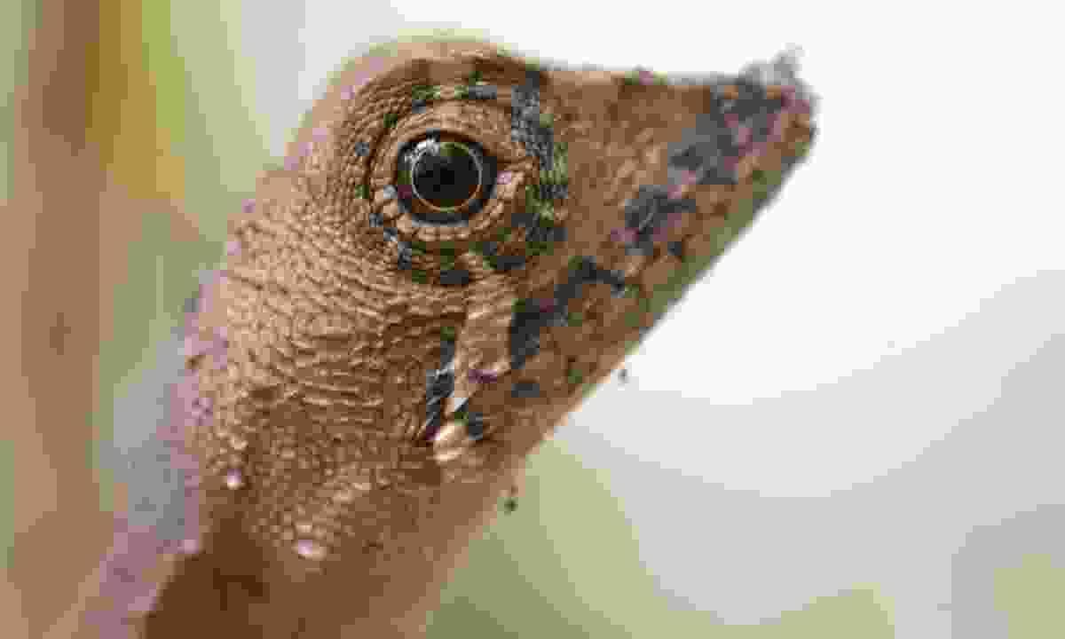 Kangaroo lizard (Gehan de Silva Wijeyeratne)