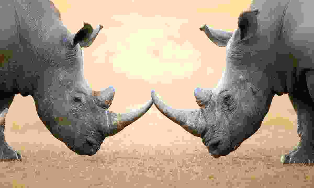 White rhinos in Kruger (Dreamstime)