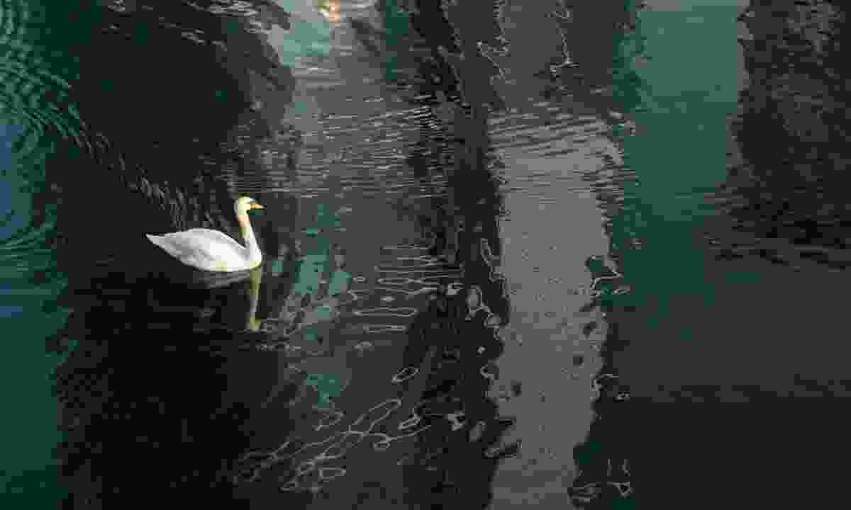 A swan swims on the river near Little Venice (Terry Gibbins)