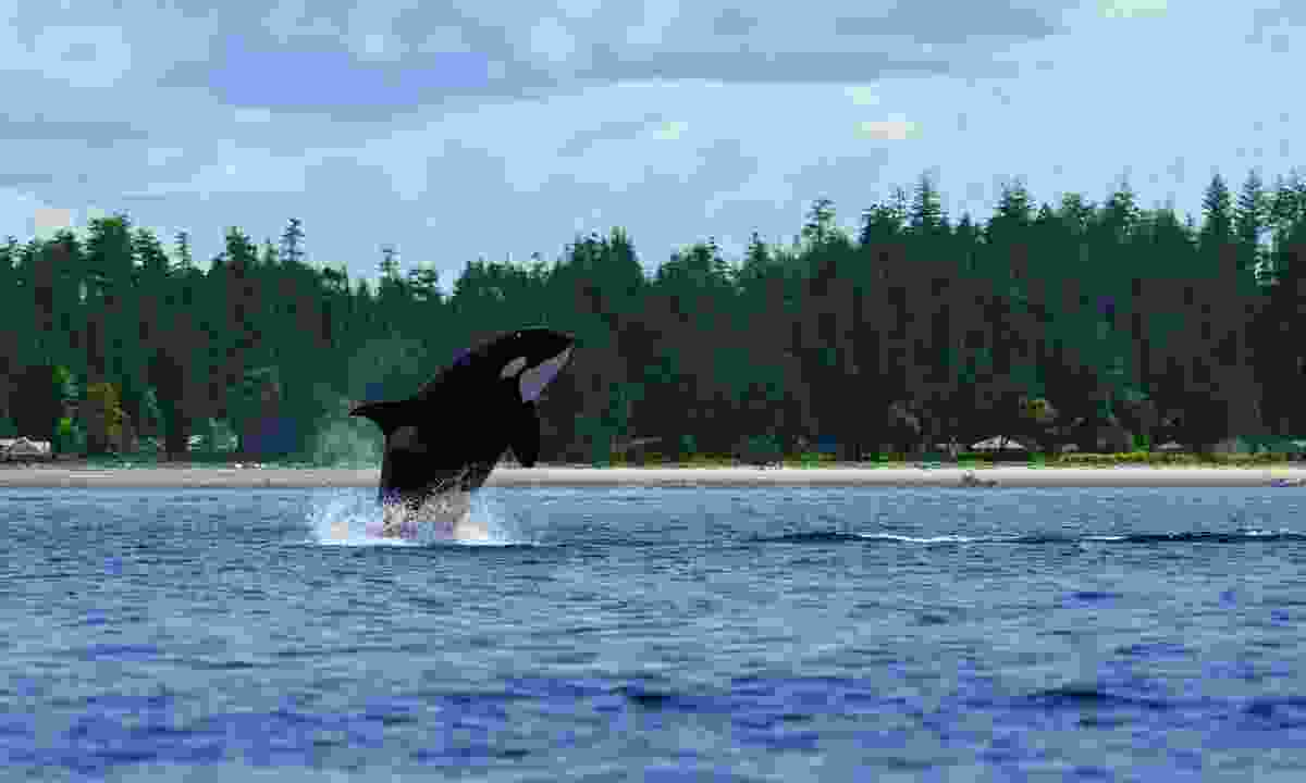 Vancouver Island is a great spot for whale watching (Dreamstime)