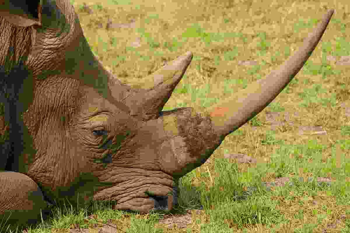 White rhino roam the scrub of iSimangaliso (Paul Bloomfield)