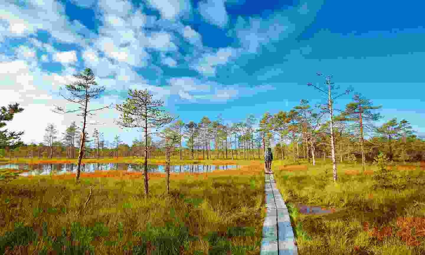 Boardwalks thread the sinking mud of the Viru bogs at Lahemaa, the largest national park in Estonia (Shutterstock)