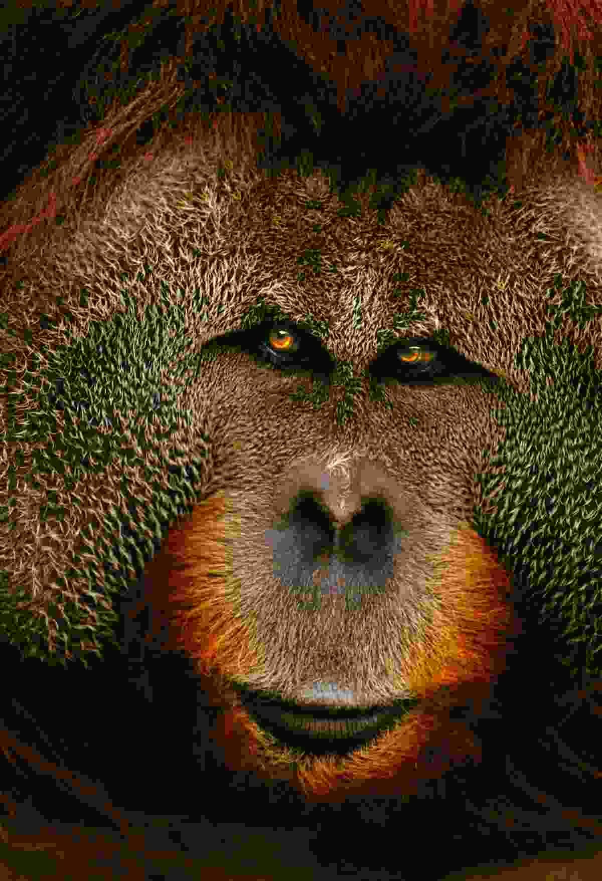 Sumatran Orangutan (Art Wolfe)
