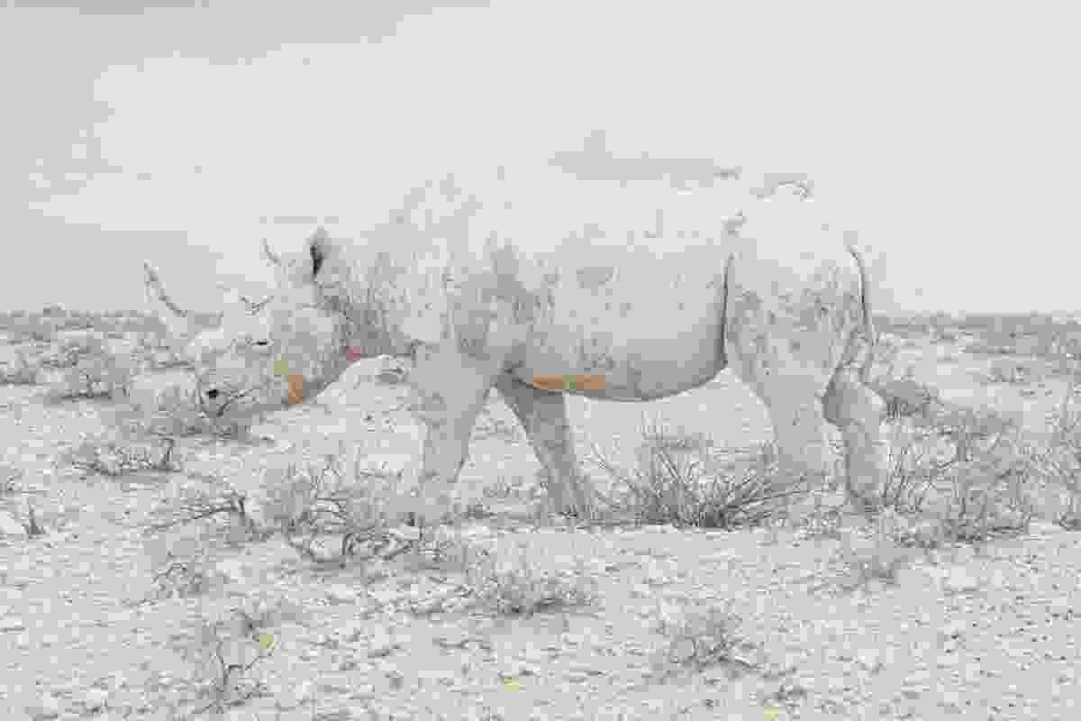 Camouflage – Black rhinoceros, Etosha National Park, Namibia (Maroesjka Lavigne)
