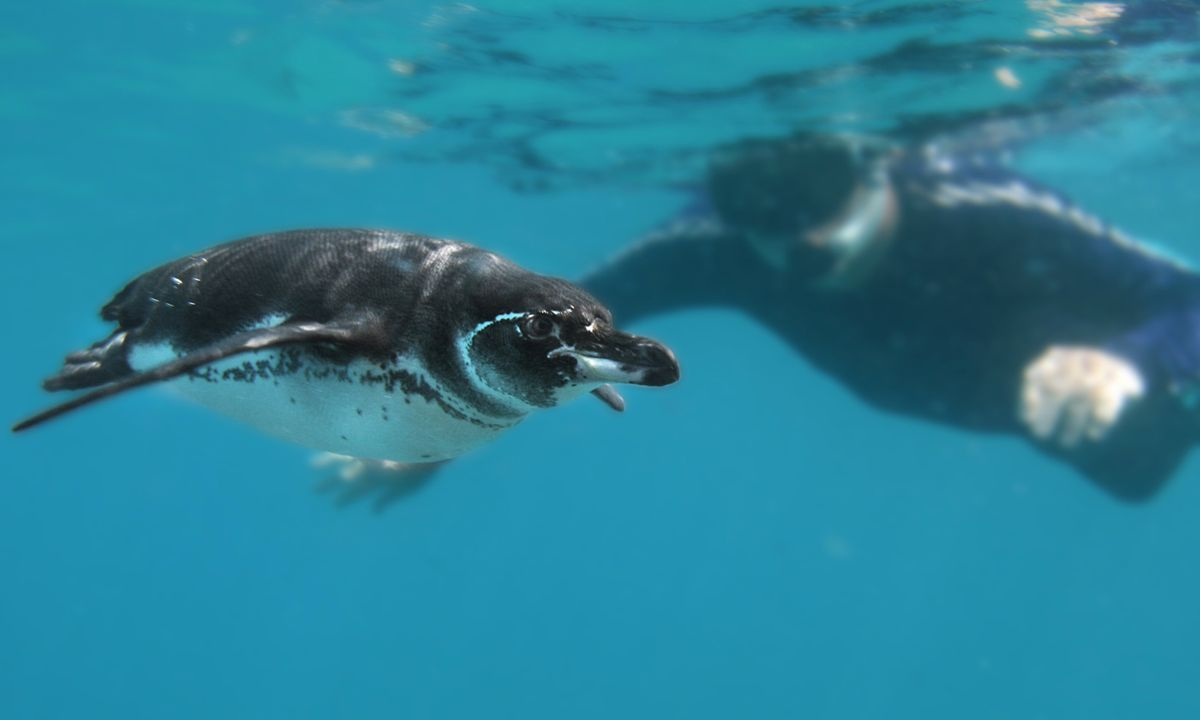 Snorkelling with a Galapagos penguin (Dreamstime)