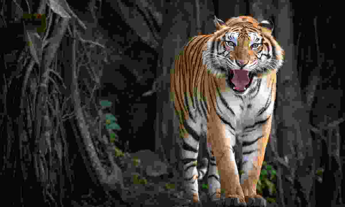 Sumatran tiger in forest (Dreamstime)