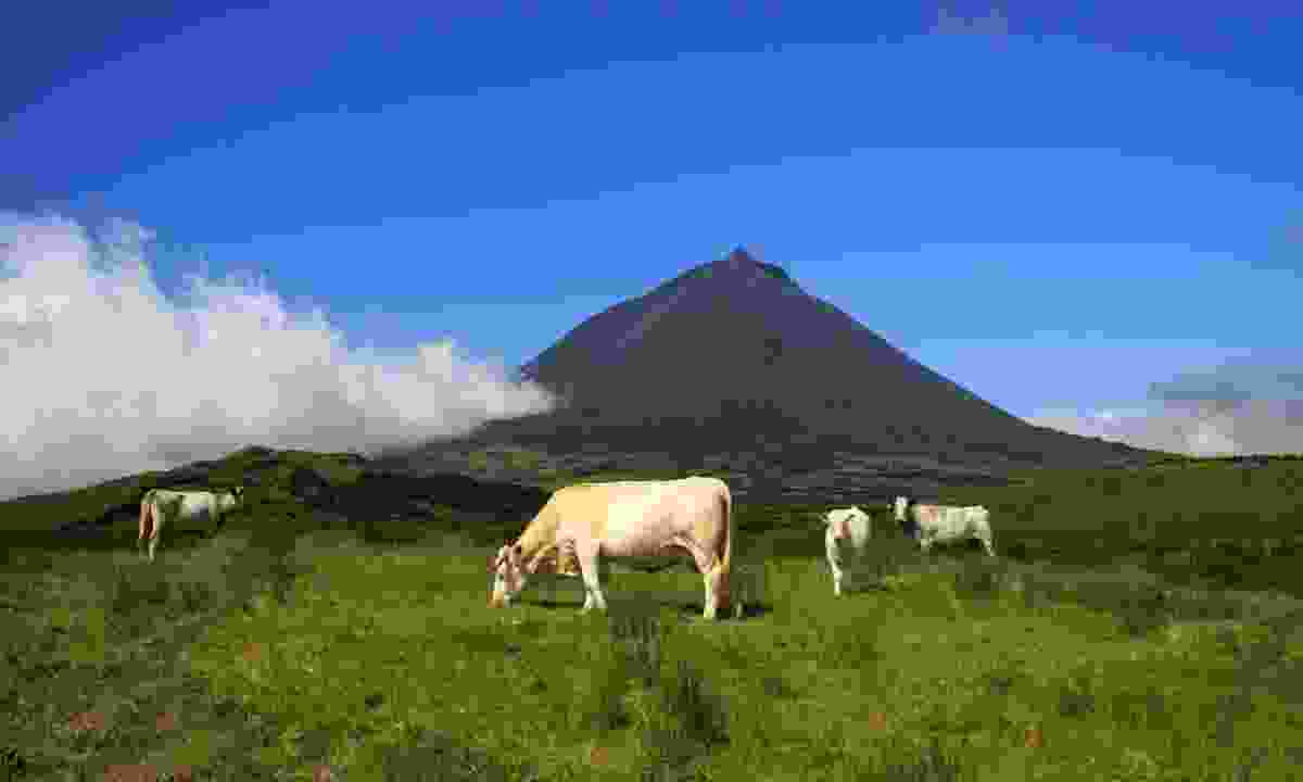 Dairy cattle grazing near Mount Pico (Dreamstime)