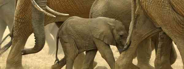 Baby elephant with herd (Dreamstime)