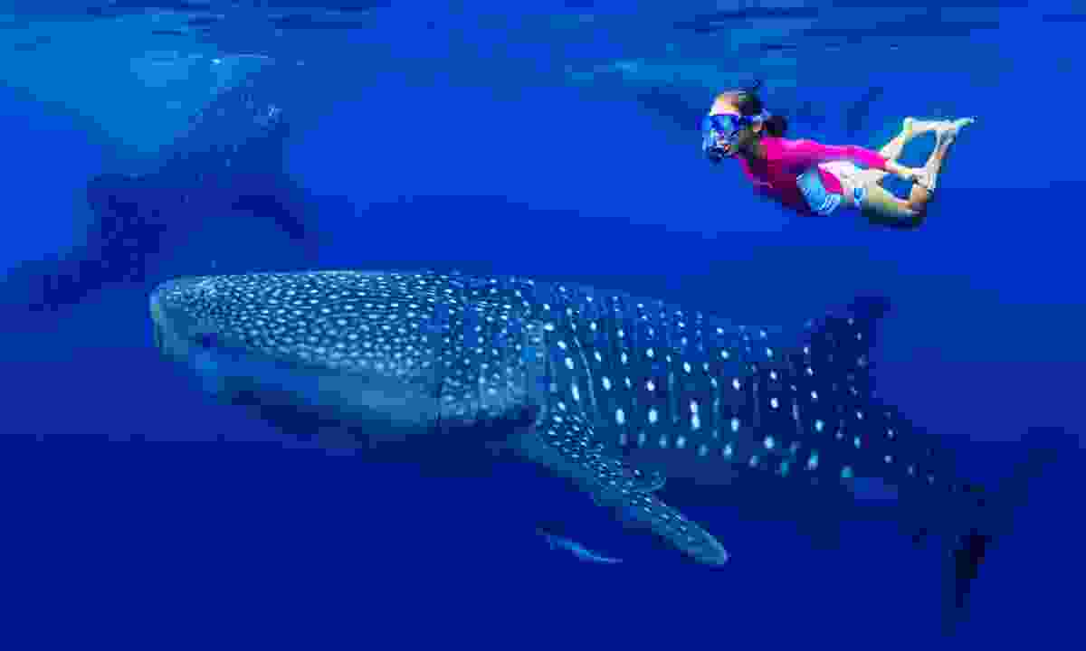 Young girl snorkelling with whale shark (Dreamstime)